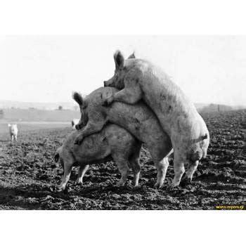 cochera de marranos especies cerdos