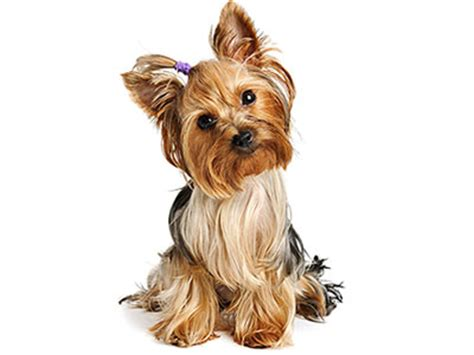 treats for yorkies yorkie title rebates