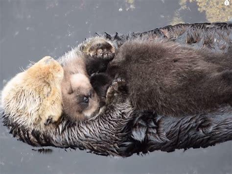 otter schlafen babyotter schl 228 ft auf mamas bauch