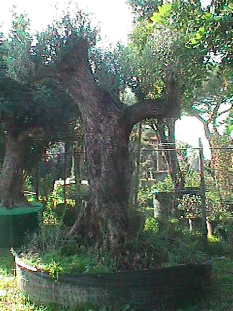 armeni giardini olivo ulivi piante centenarie secolari esemplari unici