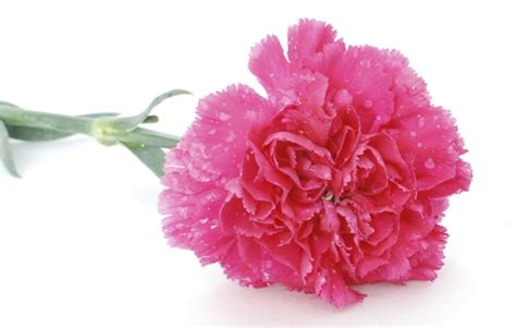 carnation color meanings of carnation flowers of different colors just