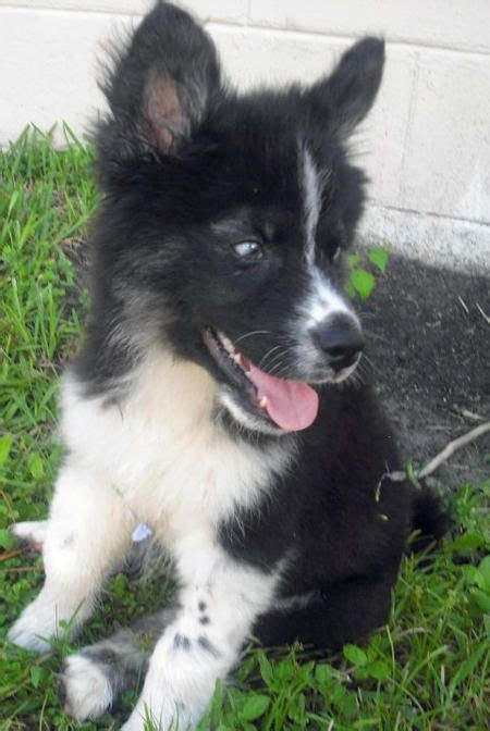 border collie husky mix puppy 25 best ideas about border collie husky mix on husky collie mix husky