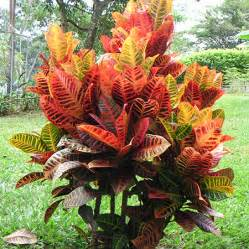 Flowering Shrubs Zone - croton petra plant for sale fast growing trees com