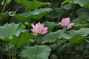 Lotus Flower Plant Free Photo Lotus Flower Plant Flowers Free Image On