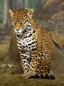 Facts About Jaguars In The Caracter 237 Sticas Da On 231 A Pintada Curiosidades E Habitat