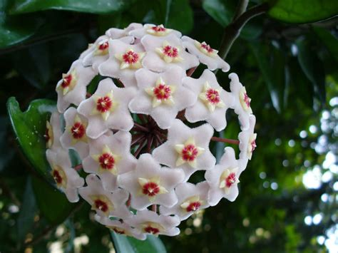 houseplant vine hoya carnosa wax plant world of succulents