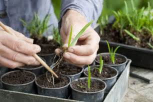 growing agapanthus from seed gardenersworld com