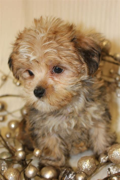lifespan of a yorkie maltese maltese with quotes quotesgram