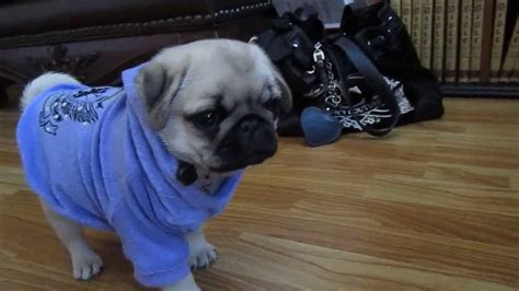 pug puppies for sale huntsville alabama silver sapphire cutest pug puppy pug