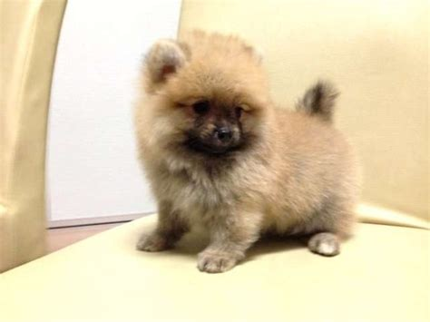 teddy pomeranian for sale teddy orange pomeranian thick fur quality for sale adoption from selangor klang