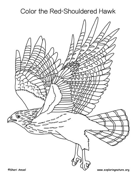 hawk coloring pages hawk shouldered coloring page