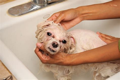 how to bathe puppy file washing a in a bath tub jpg wikimedia commons