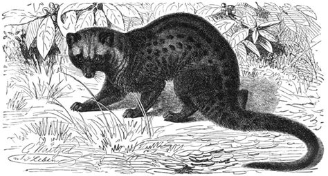 Pass the coffee: Civets brew up expensive beans   Science Buzz