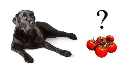 can dogs eat tomato can dogs eat tomatoes a food safety guide by the labrador site