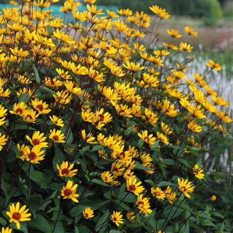 Summer Houses For Garden - buy false sunflower heliopsis helianthoides var scabra summer nights delivery by waitrose