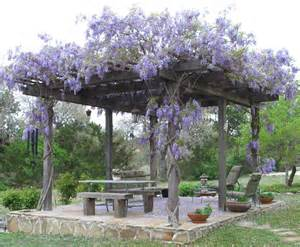 Best Vines For Pergola by Dr Dan S Garden Tips Vines Are Divine