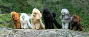 standard poodle colors poodle haircut poodles one of each color