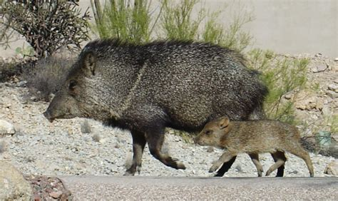 Javelina | Notes from the West | Page 3