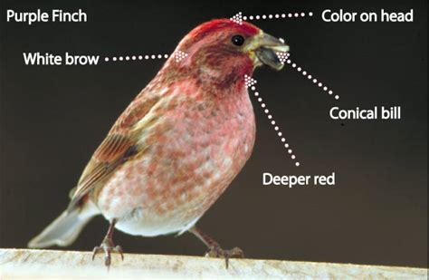 purple house finch how to tell the apart a house finch and a purple finch