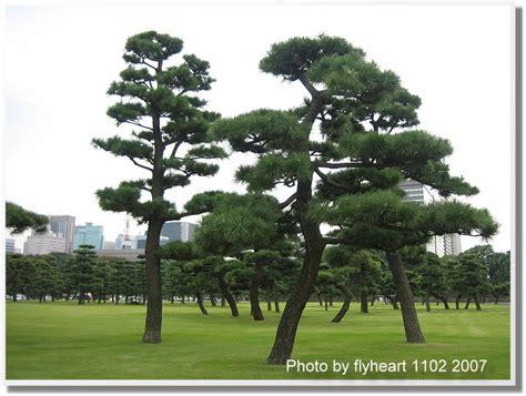 2007 11 27 21 21 日本關東遊--皇居前的松樹 .txt