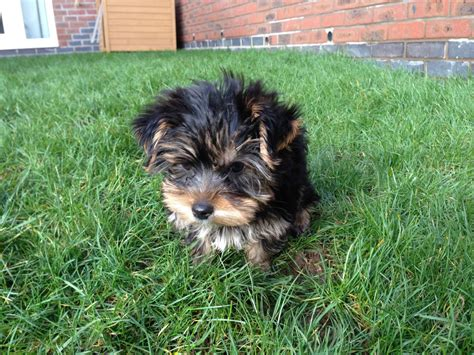 yorkshire beds 10wk old yorkshire terrier boy bed toys rugby