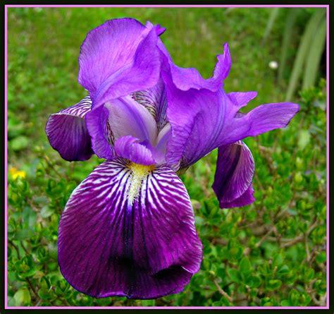 imagenes de flores iris iris germanica fotos de concursos