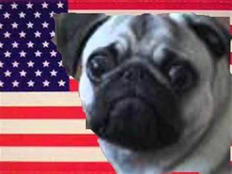 american pugs american national anthem meets dramatic pug