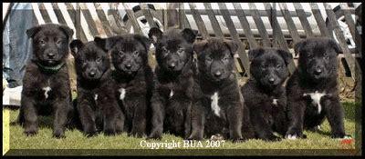 utonagan puppies for sale usa the black grey tamaskan page 3 international tamaskan forum