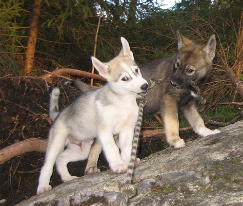 wolf husky puppies wolf husky mix puppies