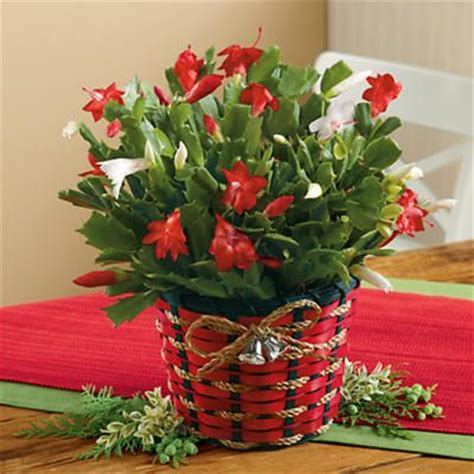 christmas cactus plants gift baskets harry david
