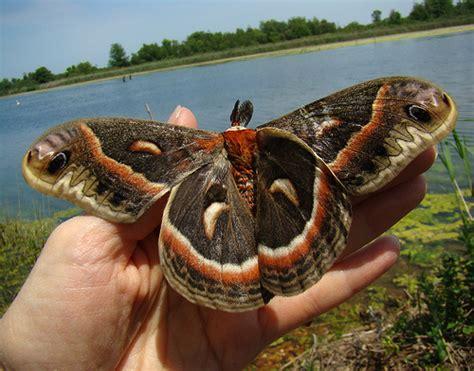 seeking adirondack saturniidae