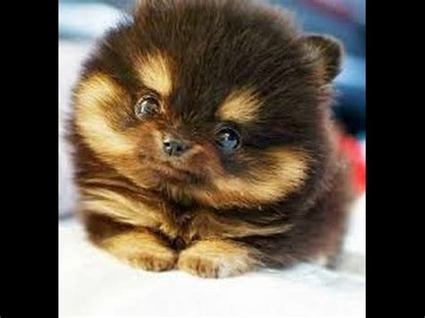 how big does a yorkie pomeranian mix get teacup pomsky grown size breeds picture