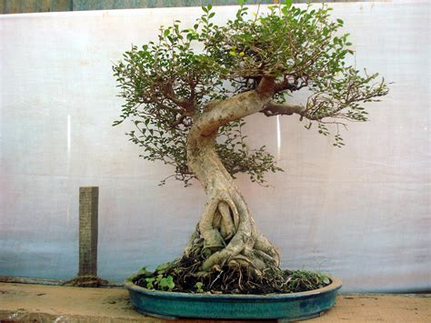bonzi tree fourth eye bonsai