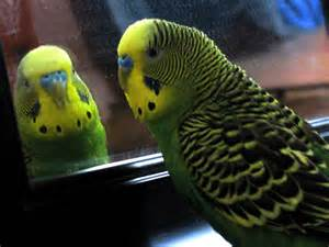 parakeets and mirrors parakeet blog