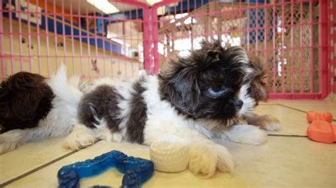 shih tzu breeders in ga unique blue shih tzu puppies for sale in ga at puppies