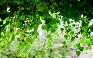 green seductive wallpaper green leaves on a vine plant wallpapers free download wallpapers