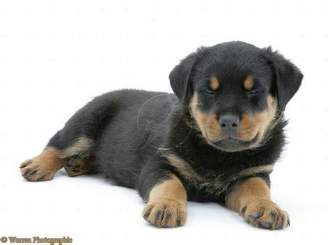 rottwieler puppies puppy dogs rottweiler puppies