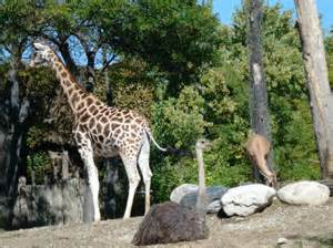 Giraffe amp ostrich picture of lincoln park zoo chicago