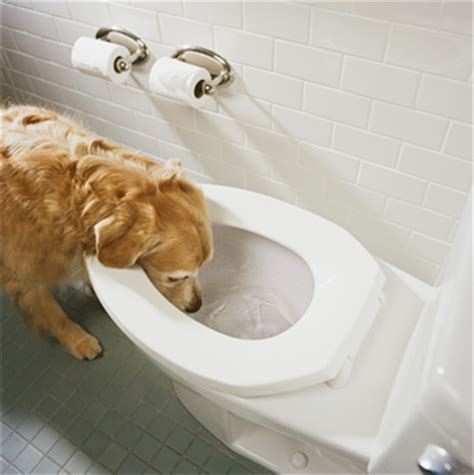 drinking water from bathroom why dogs drink from toilet archives makati dog and cat