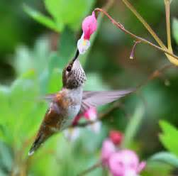 hummingbird amp bleeding heart flower 2008