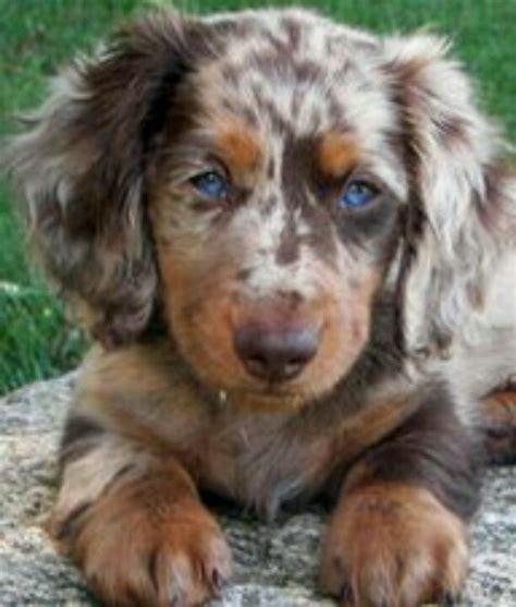 dapple puppies mini dapple dachshund dauchshunds wiener dogs minis dapple