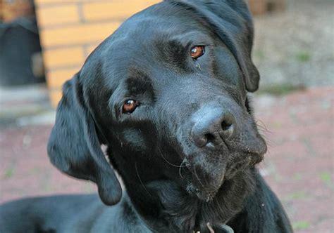 alimentazione boxer adulto omissione di soccorso ad animali investiti labrador