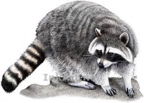 northern raccoon stock art illustration