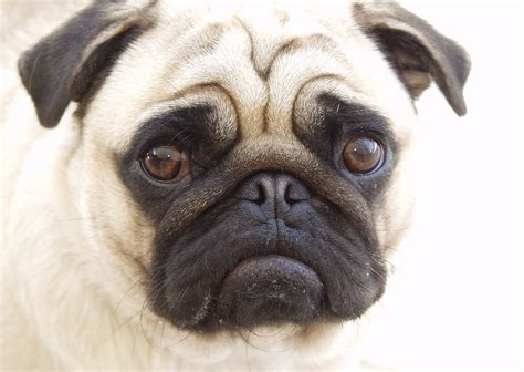 pug facts and information pug information and facts breeds picture