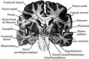 le syst 232 me limbique neuromedia