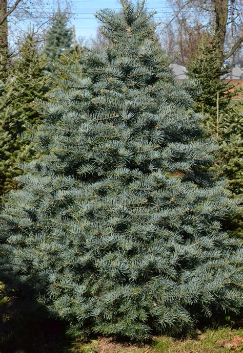 best artificial trees newburgh ny when it comes to trees fir is the new pine in western new york buffalo