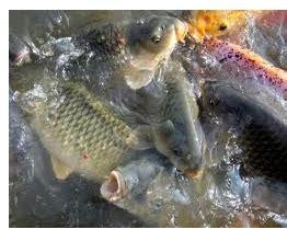 Pelet Apung Terbaik cara terbaik dan berlian budidaya ikan