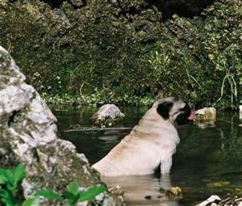 pug diarrhea treatment pugs and swimming pug information center