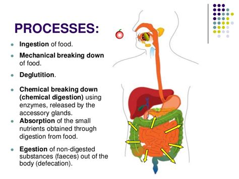 Ppt The Digestive System Jmbf Digestive System Powerpoint