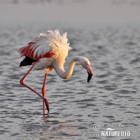 burung flamingo besar foto gambar